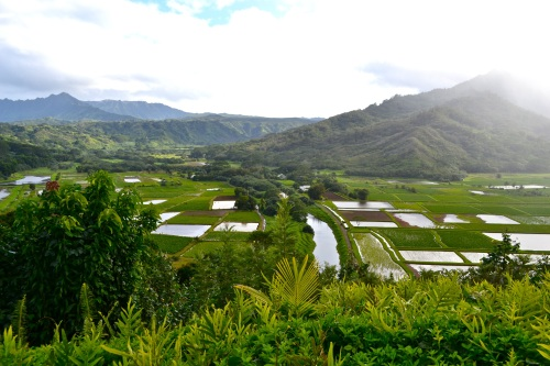 Taro fields in the lush Hanalei valley.